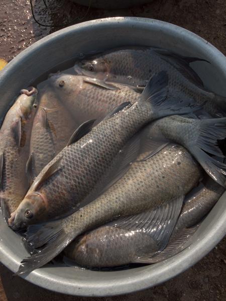 メコン川の魚。デカい川魚は生臭そうで、美味そうに見えない。