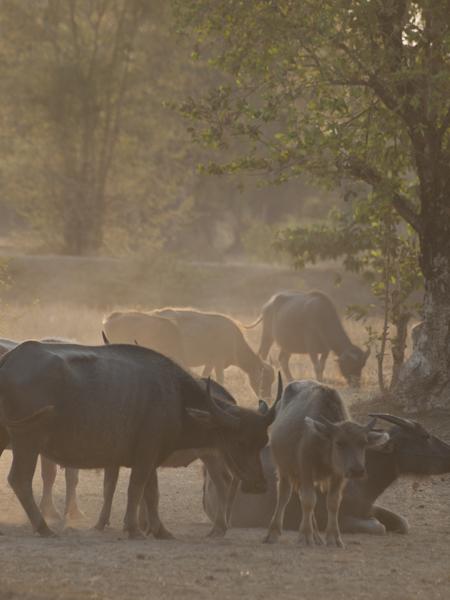ラオスは意外に牛が多い。