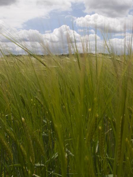 麦。今年は寒くて収穫が遅れているそうです。今頃は黄金に輝いていなくてはないらないらしい。