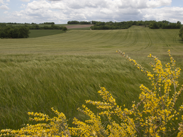 麦畑が続く。