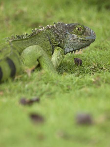 トカゲ、イグアナ、カメレオンの関係は、爬虫綱の有鱗目で、トカゲ亜目のイグアナ下目のカメレオン科。