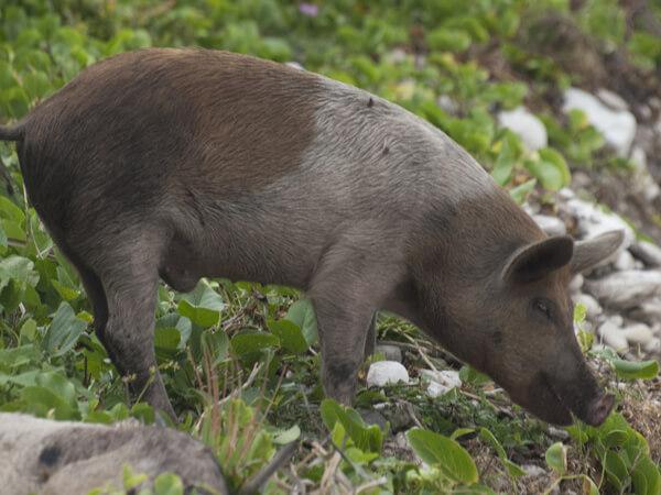 庭先をウロウロする豚。もっと大きくなったら、食う。犬は食わない。