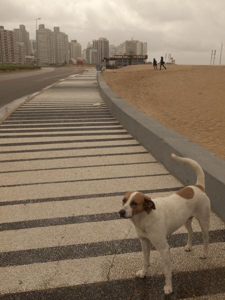 ウルグアイは、身なりのいい野良犬が多い。