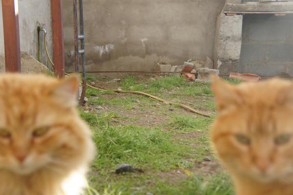 ご相伴にあずかろうとする猫兄弟。