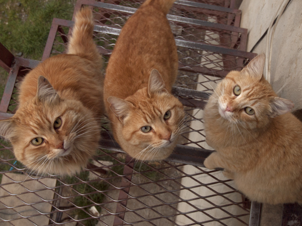 Fuji旅館の猫には、Don't feedです。けど一度だけ魔が差してしまい、牛の脂をちょこっとあげてしまいました。ごめんなさい。あのときから猫たちのボクを見る目つきが変わりました。