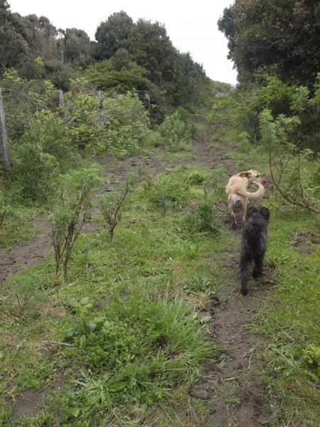 ビーチを目指して、間違って知らん人の農場を勝手に歩いてしまった。犬が先導してくれるが、道じゃなかった。