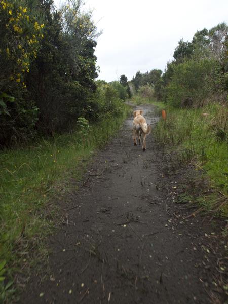 宿の犬。どんどん先に歩くくせに、